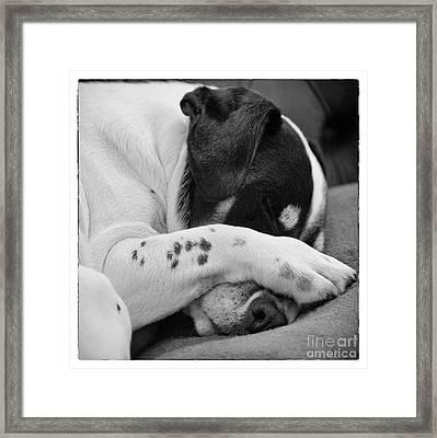Jack Russell Terrier Dog Asleep In Cute Pose Framed Print by Natalie Kinnear