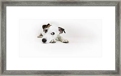 Jack Russell Terrier- Fine Art Photography By Holly Martin Framed Print by Holly Martin