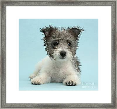 Jack Russell X Westie Pup Framed Print