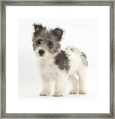 Jack Russell X Westie Pup Standing Framed Print by Mark Taylor