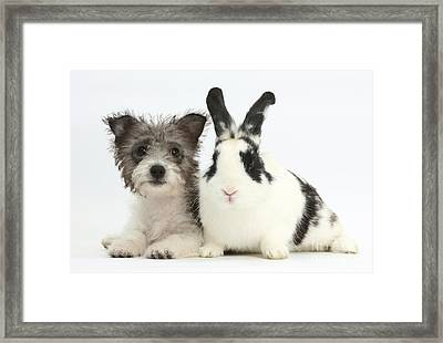 Jack Russell X Westie Pup With Rabbit Framed Print by Mark Taylor