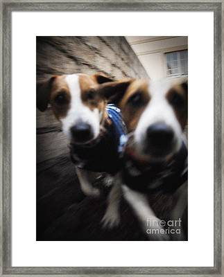 Jack Russells Framed Print by Michael Edwards