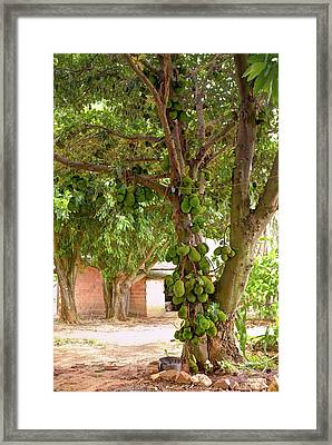 Jackfruit Tree With Fruit Growing Framed Print by Ktsdesign