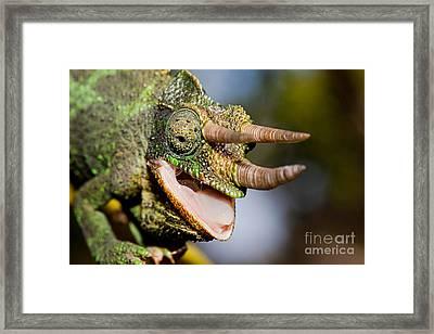 Jacksons Chameleon Framed Print