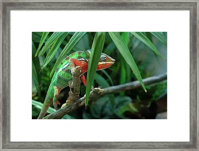 Jaguar Chameleon Framed Print by Jim Hughes
