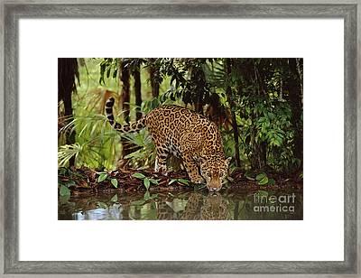 Jaguar Drinking Framed Print by Frans Lanting MINT Images