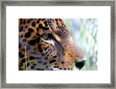 Jaguar Eyes Framed Print by Nathan Miller
