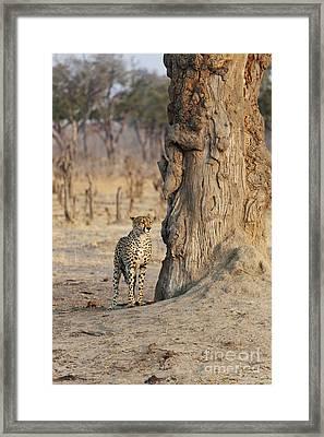 Jaguar In Hwange National Park Framed Print by BC Imaging