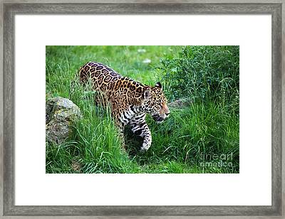 Jaguar On The Prowl Framed Print