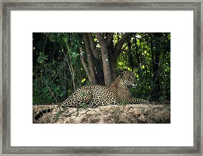 Jaguar (panthera Onca Framed Print by Pete Oxford