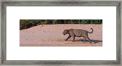 Jaguar Panthera Onca Walking Framed Print