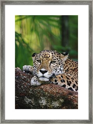 Jaguar Portrait Belize Framed Print by Gerry Ellis