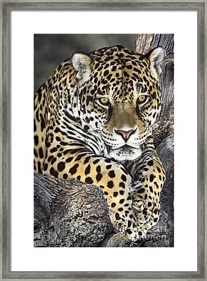 Jaguar Portrait Wildlife Rescue Framed Print