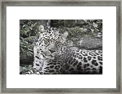 Jaguar Framed Print by Rich Collins