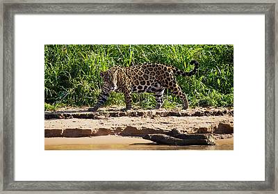 Jaguar River Walk Framed Print