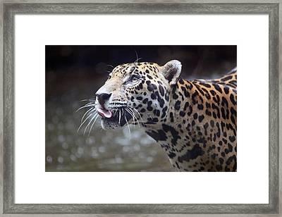 Jaguar Sticking Out Tongue Framed Print by Shoal Hollingsworth