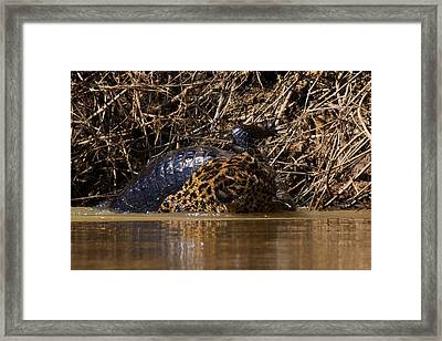 Jaguar Vs Caiman 3 Framed Print