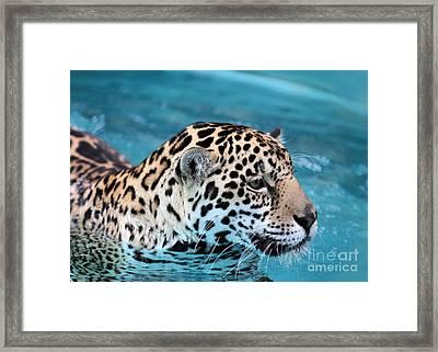Jaguars Love To Swim Framed Print