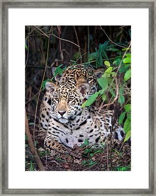 Jaguars Panthera Onca, Pantanal Framed Print by Panoramic Images