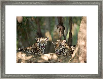 Jaguars Panthera Onca Resting Framed Print by Panoramic Images