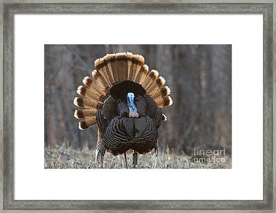 Jake Eastern Wild Turkey Framed Print by Linda Freshwaters Arndt