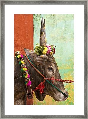 Framed Print featuring the photograph Jallikattu Bull by Dennis Cox WorldViews