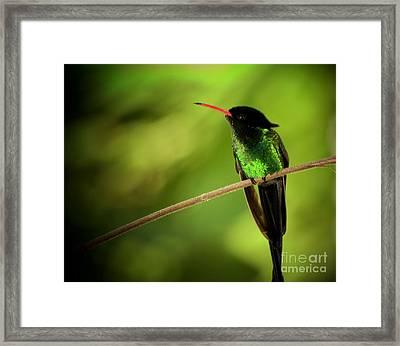 Jamaican Hummingbird 2 Framed Print
