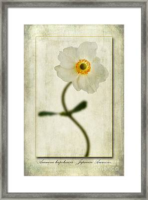 Japanese Anemone Framed Print by John Edwards