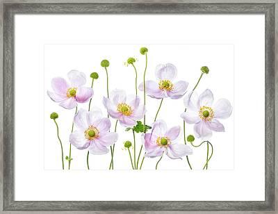 Japanese Anemones Framed Print