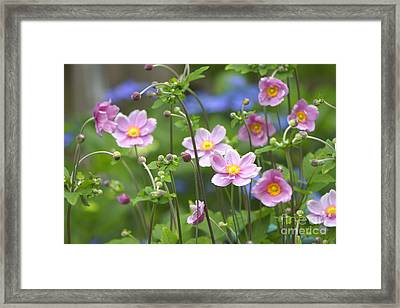Japanese Anemones Framed Print by Sharon Talson