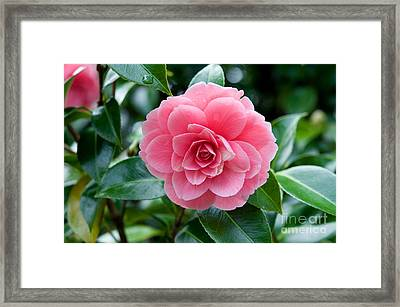Japanese Camellia 2 Framed Print by Terry Elniski