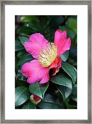 Japanese Camellia (camelia Japonica) Framed Print