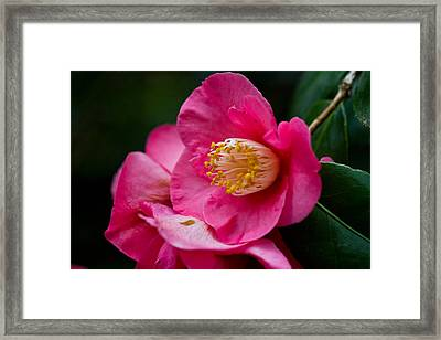 Japanese Camellia-the Official State Flower Of  Alabama Framed Print by Eti Reid