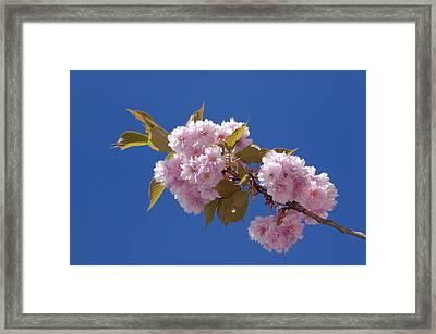 Japanese Cherry Flowering Framed Print