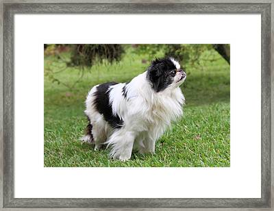 Japanese Chin - 2 Framed Print by Rudy Umans