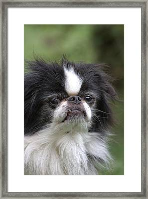 Japanese Chin - 3 Framed Print by Rudy Umans