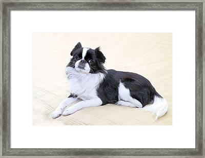 Japanese Chin - 5 Framed Print by Rudy Umans