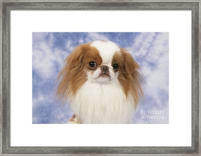 Japanese Chin Dog Framed Print by John Daniels
