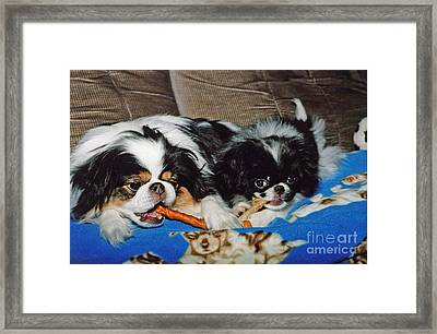 Framed Print featuring the photograph Japanese Chin Dogs Hanging Out by Jim Fitzpatrick