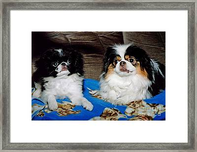 Framed Print featuring the photograph Japanese Chin Dogs Looking Guilty by Jim Fitzpatrick