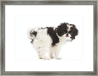 Japanese Chin Puppy Framed Print by Jean-Michel Labat
