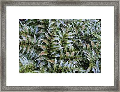 Framed Print featuring the photograph Japanese Ferns by Kathryn Meyer