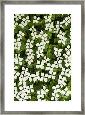 Japanese Flowering Dogwood Tree Framed Print by Tim Gainey