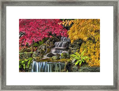 Japanese Laced Leaf Maple Trees In The Fall Framed Print by David Gn