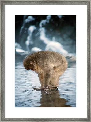 Japanese Macaque In A Hot Spring Framed Print
