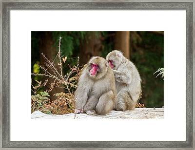 Japanese Macaque (macaca Fuscata) Framed Print by Photostock-israel