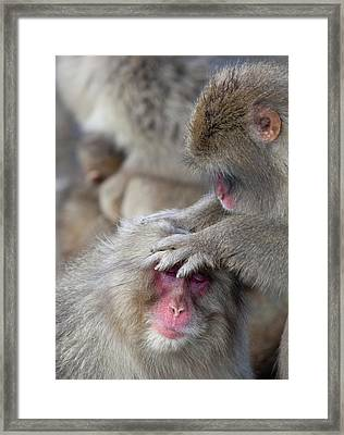 Japanese Macaque Monkey Dominant Grooming Framed Print