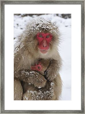 Japanese Macaque Warming Baby Framed Print