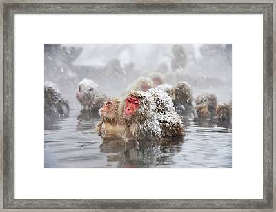 Japanese Macaques In A Hot Spring Framed Print