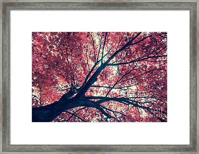 Japanese Maple - Vintage Framed Print by Hannes Cmarits